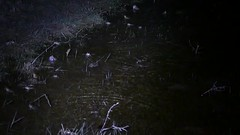 Natterjack Toads (Epidalea calamita) chorus