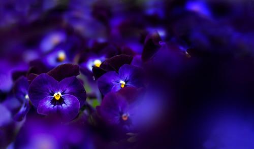 purple family