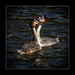 Grebe courtship dance by tkimages2011