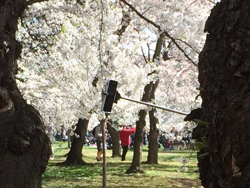 Selfie stick peeks out from behind cherry tree