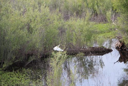 california heron nature wildlife wetlands egret greategret yolocounty yolocauseway ardeaalba yolobypass