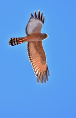 Spotted Harrier.