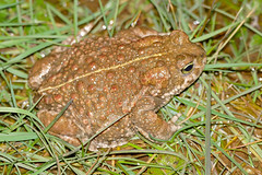 Natterjack Toad (Epidalea calamita) female