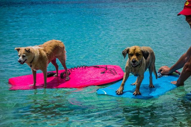 Boogie Boarding Dogs