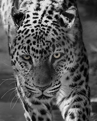 animal(1.0), snow leopard(1.0), big cats(1.0), leopard(1.0), mammal(1.0), jaguar(1.0), monochrome photography(1.0), fauna(1.0), close-up(1.0), monochrome(1.0), whiskers(1.0), black-and-white(1.0), wildlife(1.0),