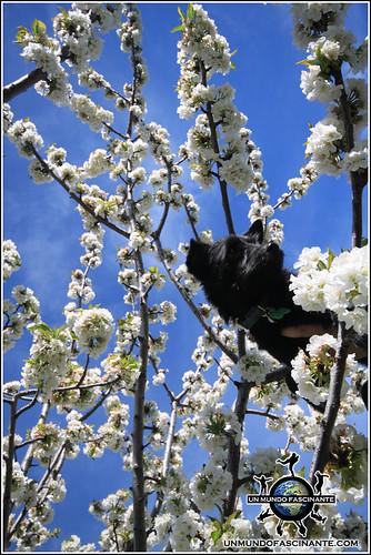 Cerezos en flor y mi perrito, Valdastillas, Valle del Jerte. España.