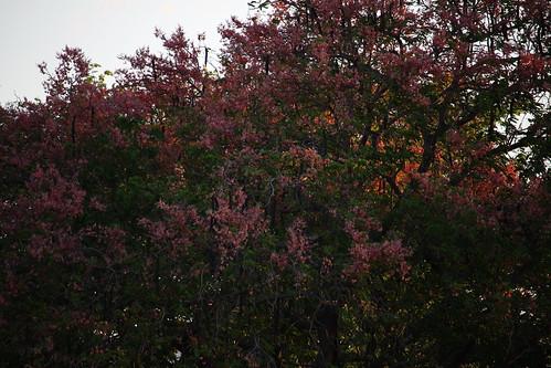 flowers flores color tree canon lens landscape arbol photography photo costarica colours natural blossom blossoms paisaje colores bloom fotografia fabaceae sandal cassia centralamerica blooming guanacaste floreado inflorescencia americacentral carao cassiagrandis guanacasteco efs55250mm canoneoskissx7