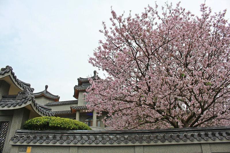 17度C在地景點春季推薦-東方室-櫻花 (2)
