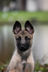 german shepherd dog(0.0), puppy(0.0), czechoslovakian wolfdog(0.0), pet(0.0), tervuren(0.0), lycaon pictus(0.0), wolfdog(0.0), saarloos wolfdog(0.0), shiloh shepherd dog(0.0), dog breed(1.0), animal(1.0), dog(1.0), norwegian elkhound(1.0), belgian shepherd malinois(1.0), belgian shepherd(1.0), carnivoran(1.0),