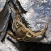 Bark Scorpion © Dancing Snake Nature Photography