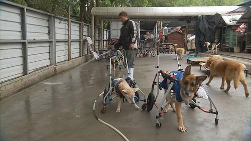 理事長林文鮮特別懂得照顧癱瘓犬