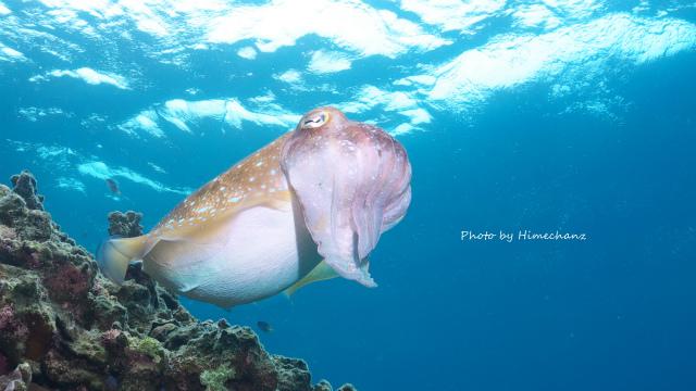 産卵準備のコブシメのメス