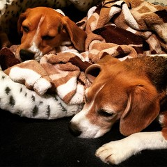 These sleepy beagles rocked the USDAA trial today!! Dylan got himself his very first DAM Q!! Team Red, White and Baroo! got 5th place (out of 9 teams) and Dylan never E'd!! Dylan now has all of his tournament Qs for his ADCH!! He just needs the rest of th