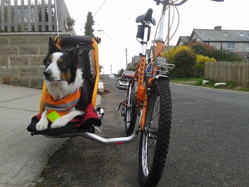 Border Collie Dog in Sidecar