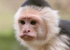 Witschouderkapucijnaap