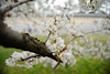 Photo:20150404 Kyoto Imperial Palace Park 5 By BONGURI