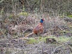 wild turkey(0.0), animal(1.0), prairie(1.0), pheasant(1.0), fauna(1.0), bird(1.0), galliformes(1.0), wildlife(1.0),