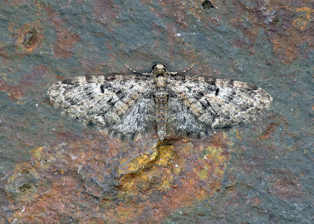 70.157 Oak-tree Pug - Eupithecia dodoneata