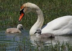 Swans, Cigni Reali