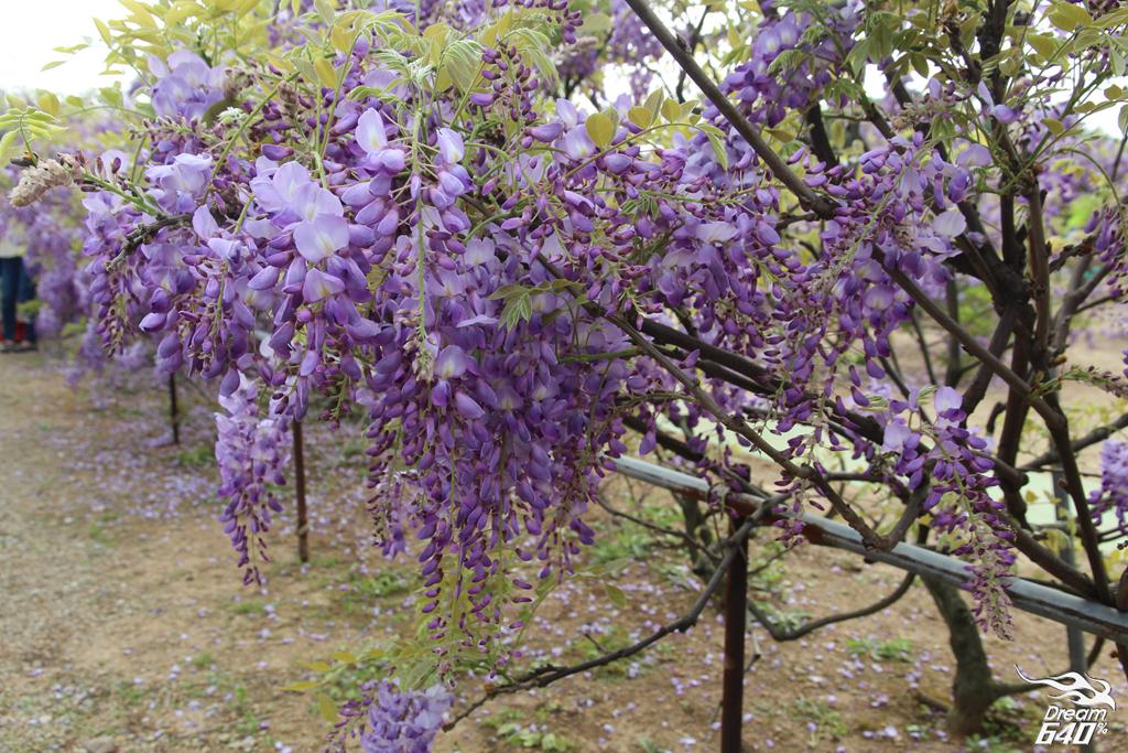 淡水紫藤咖啡園19