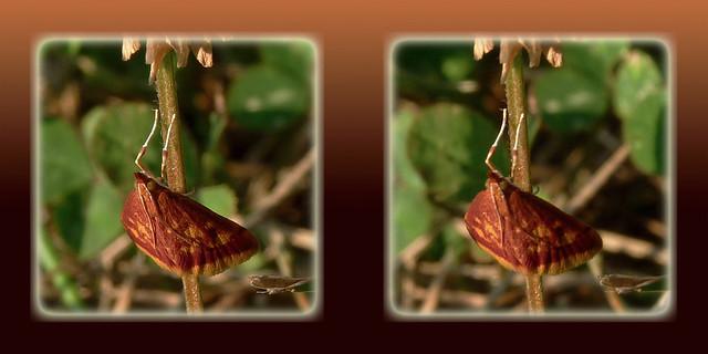 Pyrausta Acrionalis, Mint-loving Pyrausta Moth 1 - Cross-eye 3D