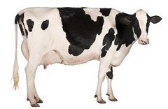 dairy(0.0), bull(0.0), food(0.0), pasture(0.0), cattle-like mammal(1.0), animal figure(1.0), mammal(1.0), dairy cow(1.0), cattle(1.0), illustration(1.0),