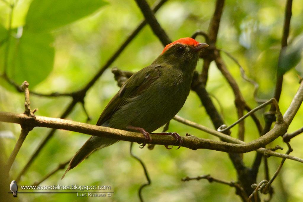 Bailarín azul (Swallow-tailed Manakin) Chiroxiphia caudata