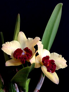 Cattleya Slc. Endless Love 'Eros' (Lc. Tokyo Magic x Slc. Jeweler's Art)