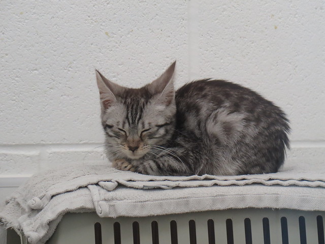 RSPCA Sheffield cute cat
