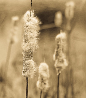 Cattails In Sepia Seed
