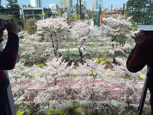 六本木 酢重ダイニング からの桜 2015/4/2