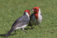 悄悄話 Are you listening?  ( Red-crested Cardinal )