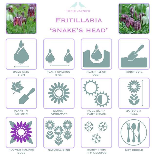 Fritillaria 'Snake's Head'