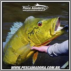 Falta apenas um mês para o início da temporada dos gigantes.  #pescaamadora #pesqueesolte #pescaesportiva #pescadores #amazonia #tucunareaçu #tucunare #peacocks #peacockbass #peacock #fish #fishinglures #fishing #sportfishing #monsterfish #bigfish #amazon