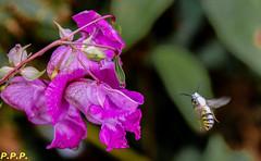 HolderWhite striped wasp