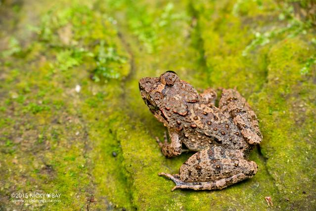Dwarf toad (Pelophryne sp.) - DSC_3617