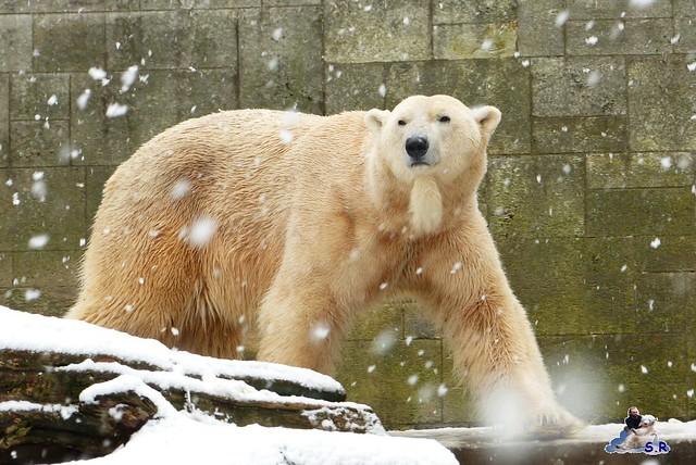Eisbär Taufe Fiete Zoo Rostock 31.03.21015 23