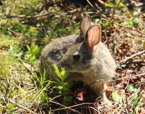 A New England cottontail is a candidate for listing under the Endangered Species Act. Photo by the U.S. Fish and Wildlife Service.