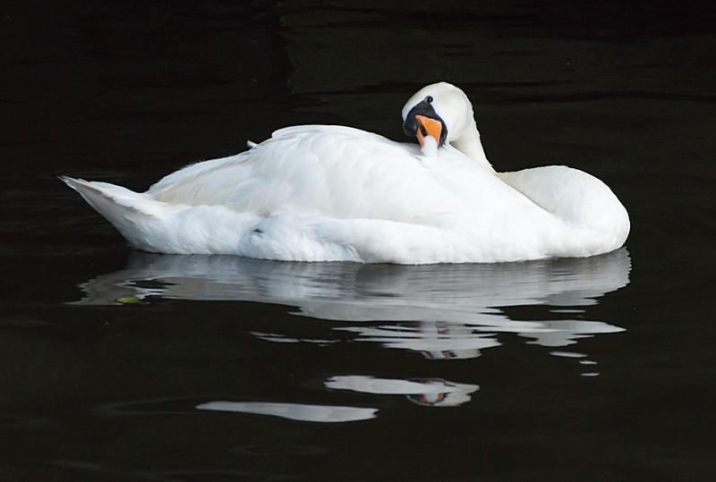 Cisne blanco reflejo