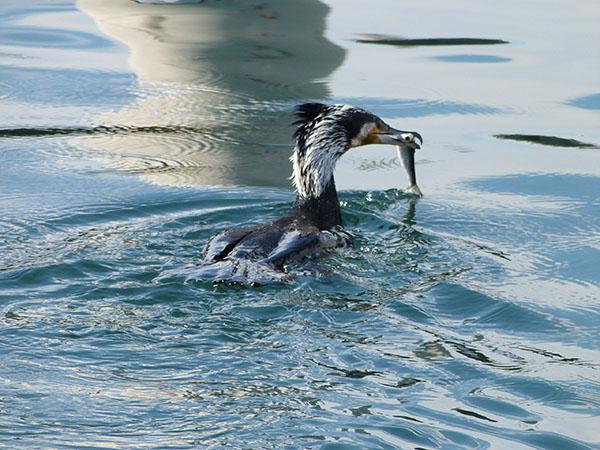 cormoran affamé
