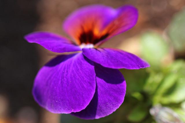 Viola purple macro