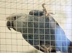 小藍金剛鸚鵡(Cyanopsitta spixii)。(來源:Pmaas)