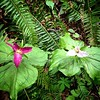 In her last days, the #trillium flares  magenta. #flowers