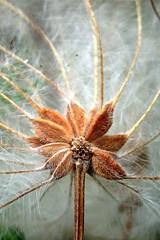 clemtis seedpod