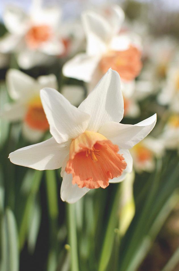 tulipheader