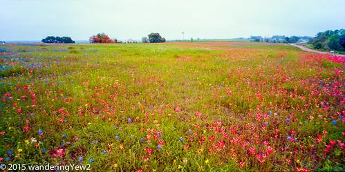 flower 120 film mediumformat texas panoramic wildflowers wildflower filmscan indianpaintbrush texaswildflowers panoramiccamera 21panoramic 6x12 austincounty horseman6x12panoramiccamera horseman612panoramiccamera