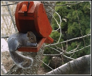 Squirrel - Photo by STEVEN CHATEAUNEUF - April 5, 2015 - Cropping And Minor Editing Was Done by STEVEN CHATEAUNEUF On April 11, 2015