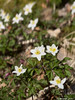 Kvitveis - Wood anemone - A sure sign of spring