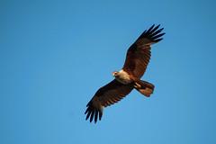 animal, bird of prey, eagle, wing, vulture, fauna, buzzard, bald eagle, beak, bird, flight, condor,