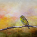 Adolescent American Goldfinch by John Ronson Photography